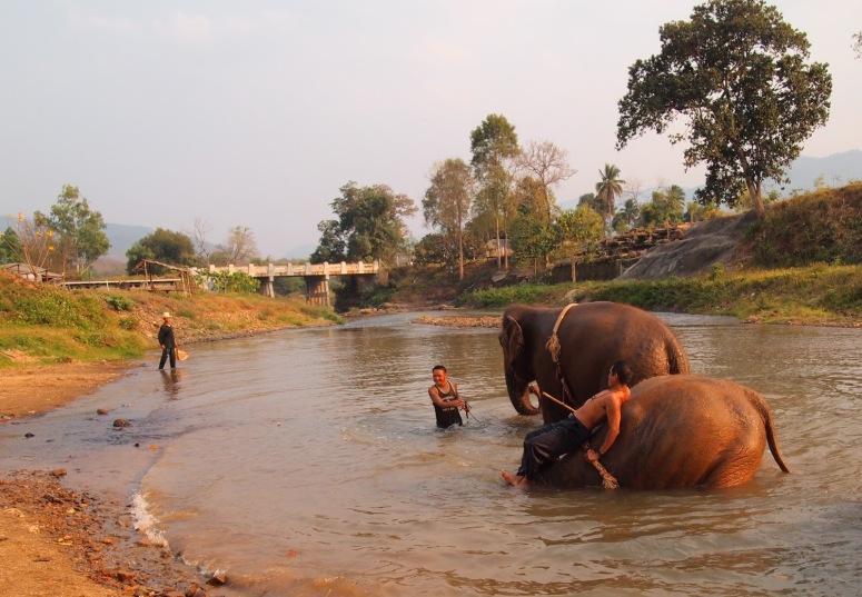 斜陽映照,大象保育中心的象伕帶大象到河裡嬉水洗澡。