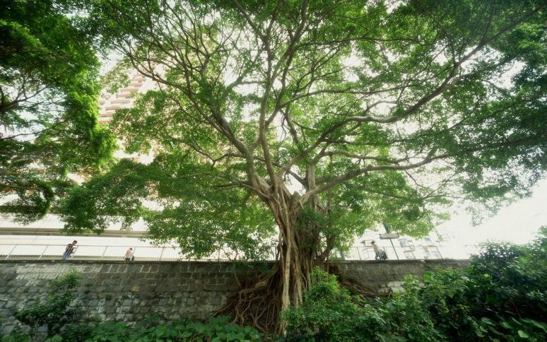 龍-20150828般咸道醫院道交界特大樹