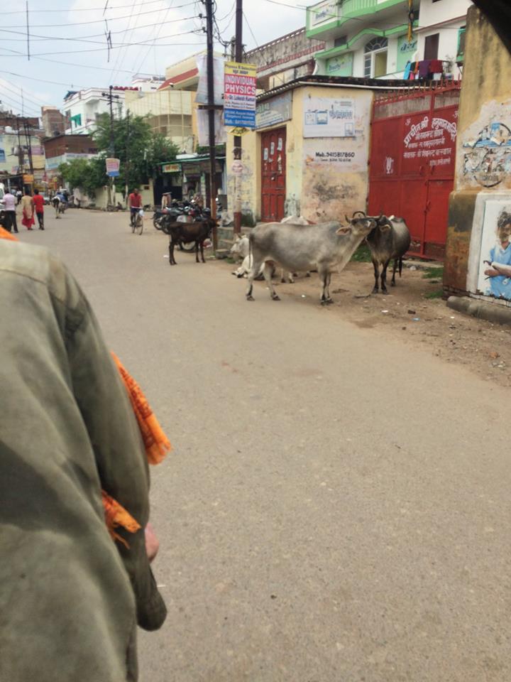 馬路上也有很多牛牛 這幾隻算是乖巧,沒有橫行霸道地躺在路中央