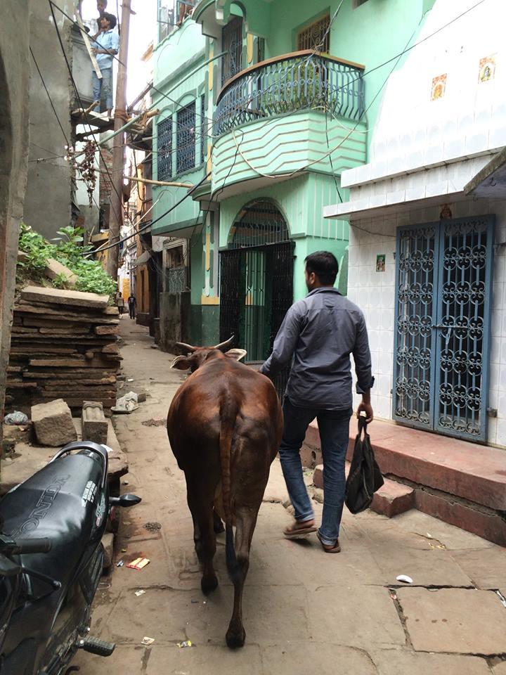 光是看照片,還以為牛牛是這男子的寵物呢~ 事實是,大街小巷都是牛牛與人車爭路...... 雖說是爭路,但其實很和諧地共存