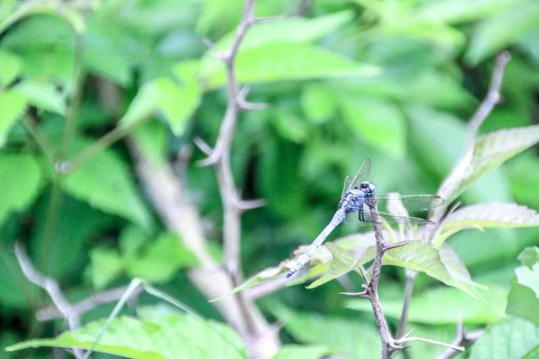 藍色的蜻蜓
